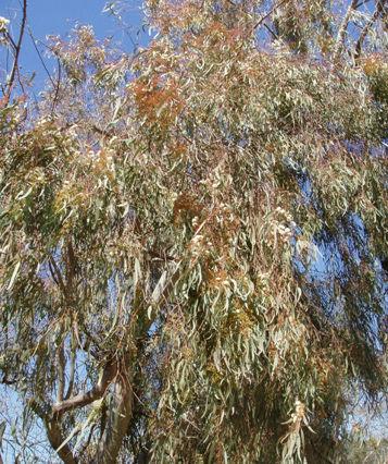 eucalyptus2.jpg