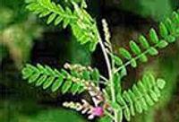 plant-indigo.jpg