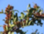 lentisk3.jpg