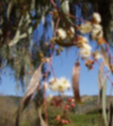 eucalyptus4.jpg