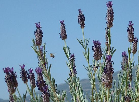 lavender3.jpg