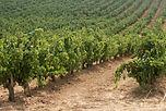Vinedos_Castilla_Leon.jpg