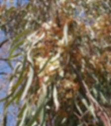 eucalyptus3.jpg