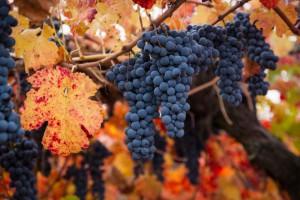 Aresti_grapesweb.jpg
