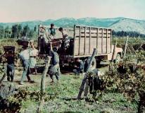 Aresti_harvest1970s_web.jpg