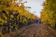 Aresti_vineyards_fallweb.jpg