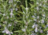 rosemary2.jpg
