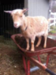 dairy-goat.jpg