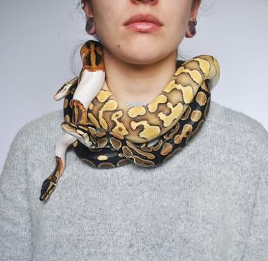pythons_hanging_cropped.jpg