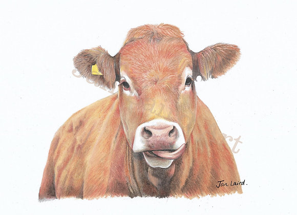 Limousin Cow (unframed)