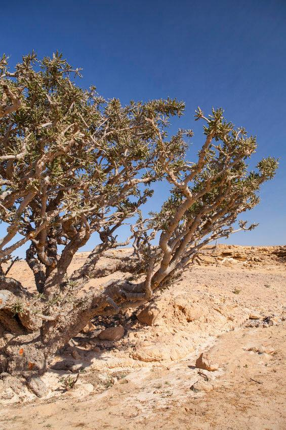 frankincense trees Oman