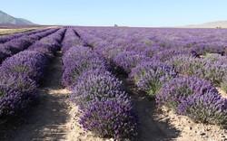 lavender farm 1
