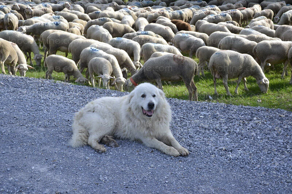 150.000 moutons sont présents dans les alpages savoyards chaque été. Depuis la réintroduction du loup, ce sont 200 patous qui assurent leur protection.  Ce chien de montagne des Pyrénées est utilisé pour la protection des troupeaux contre les attaques des prédateurs. Il vit avec eux dès son plus jeune âge et se considère ensuite comme faisant partie de leur famille.  Si ce grand chien blanc à poils longs a tout de la grosse peluche, il faut néanmoins s'en méfier et adapter son comportement. Si le chien détecte un intrus, il aboie et s'interpose entre le troupeau et la menace potentielle. Si l'intrus ne s'éloigne pas, se montre agressif, ou menace le troupeau, il peut passer à l'attaque. La plupart des accidents sont dus à un comportement humain inadapté face au chien. Mais ils risquent de créer une psychose, avec pour conséquence à long terme de ralentir l'activité touristique  de la région. Le sujet est très sensible en Maurienne, qui concentre la plus grande partie des troupeaux de moutons, des patous et des attaques de loups. C'est pourquoi l'association « Savoie vivante » mène une action depuis plusieurs années pour  sensibiliser randonneurs et vacanciers, favoriser la cohabitation avec les patous et éviter la psychose en donnant des conseils pratiques sur les parkings de départ de randonnées, les sentiers et dans les refuges. Quelques conseils de « Savoie vivante » : - Si possible, contourner le troupeau ; - Eviter tout comportement dérangeant le troupeau ou le chien, ne pas courir, ne pas crier, ne pas agiter les bras ; - Ranger ses bâtons ; - Garder les chiens en laisse ; - Si le patou s'approche, s'arrêter et garder les bras le long du corps pendant qu'il effectue une reconnaissance ; - Ne pas caresser le patou ou les agneaux ; - Lui parler calmement sans le regarder dans les yeux ; - Marcher lentement.