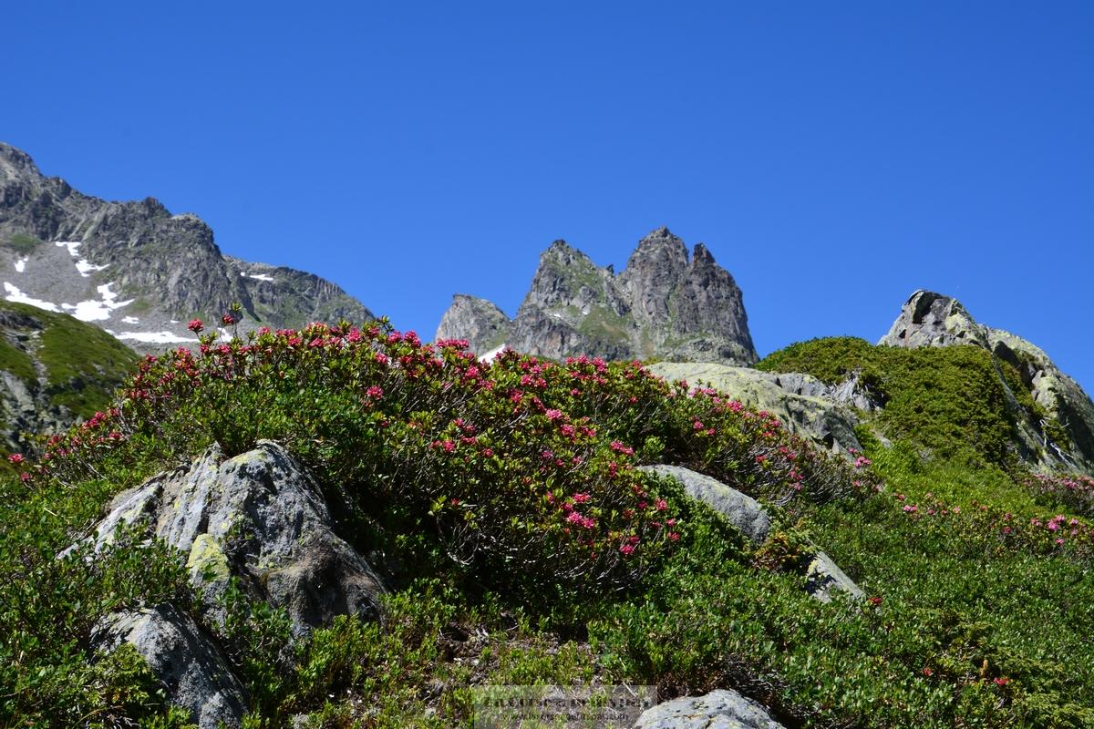 Rhododendrons le long du Petit