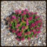 flower bed, lantana