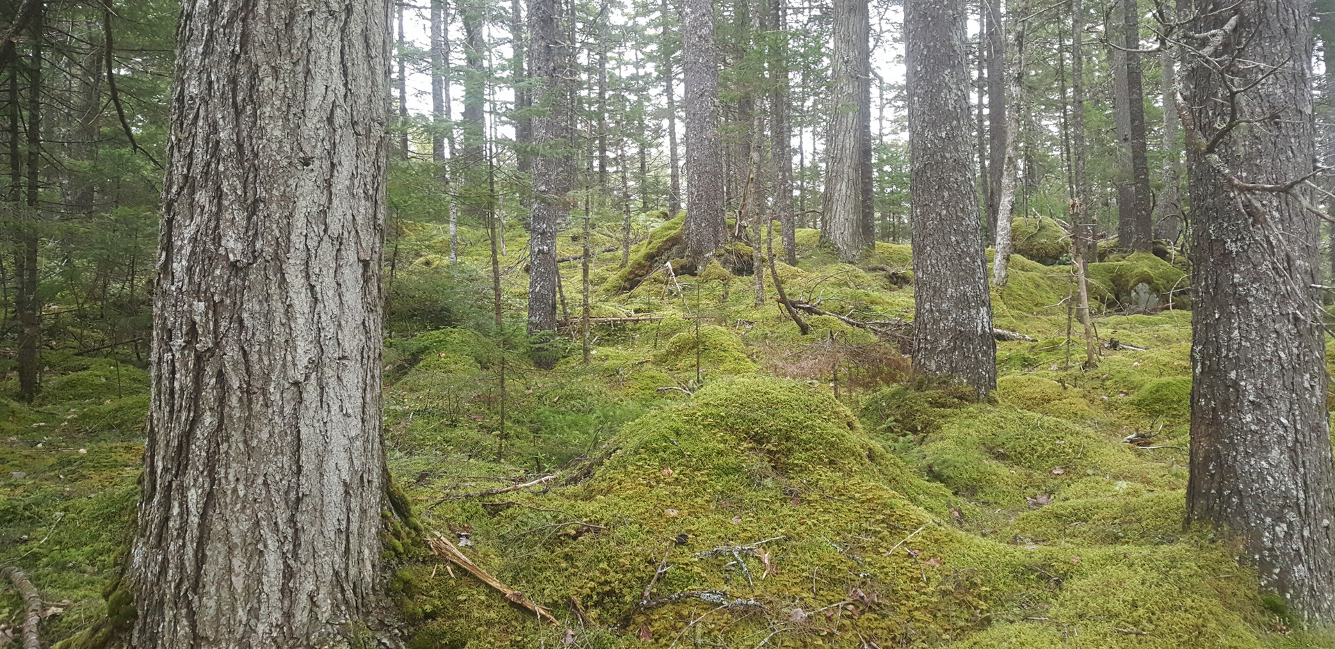A 400 year old hemlock forest