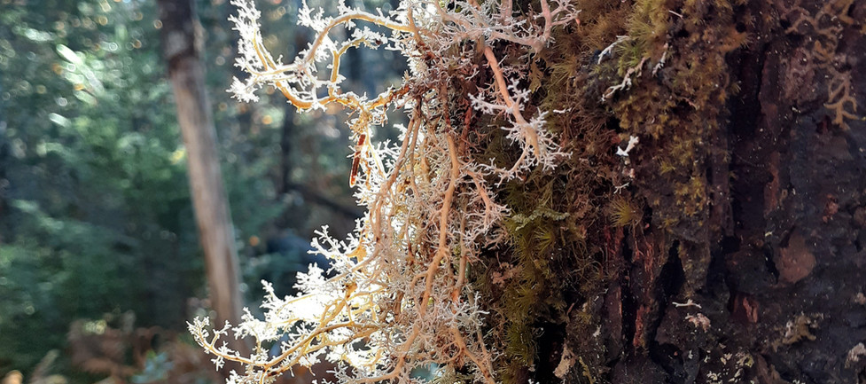 Northern coral lichen - an old growth indicator