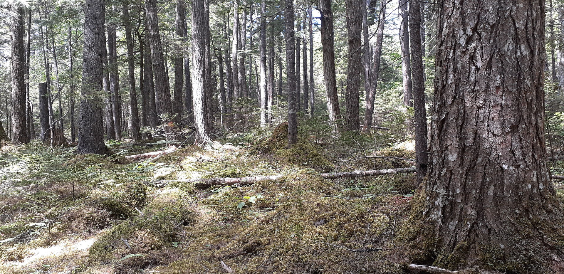 A coniferous stand of old growth forest
