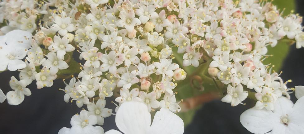 Hobblebush in bloom