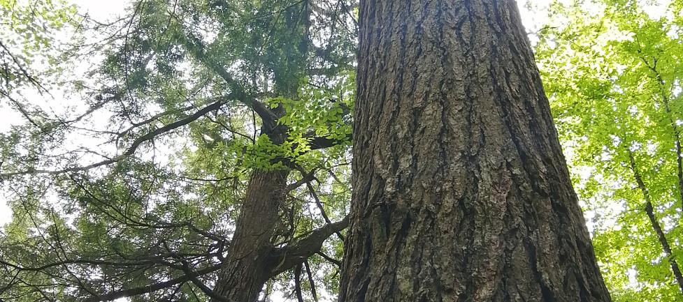 A towering eastern hemlock