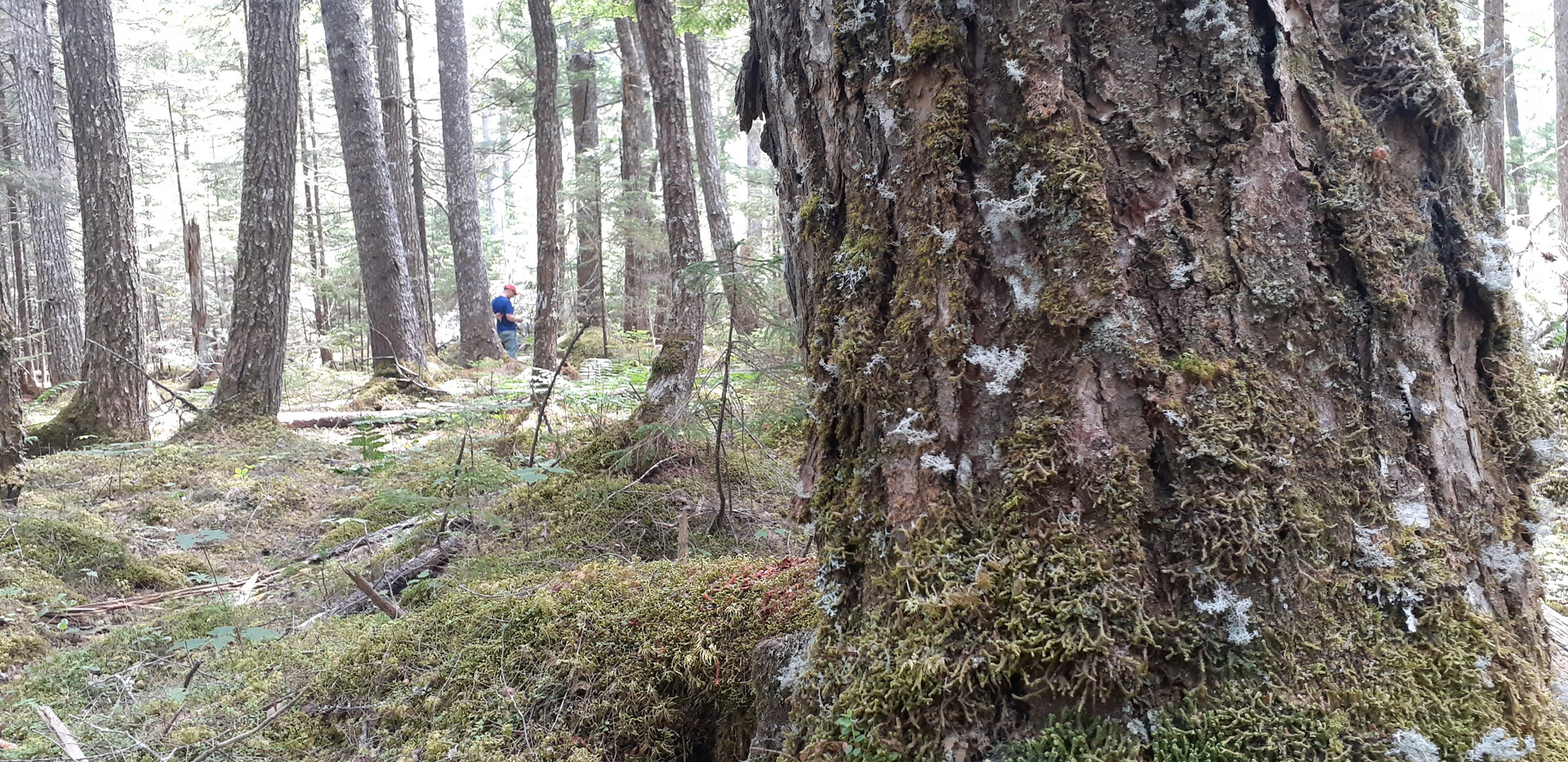 An old growth coniferous forest