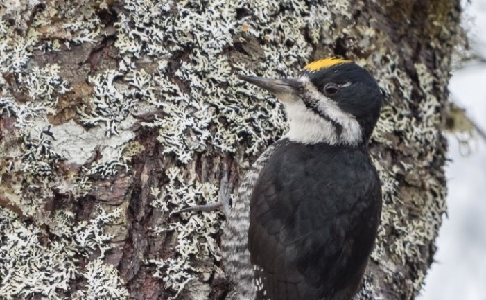 The sensitive black-backed woodpecker