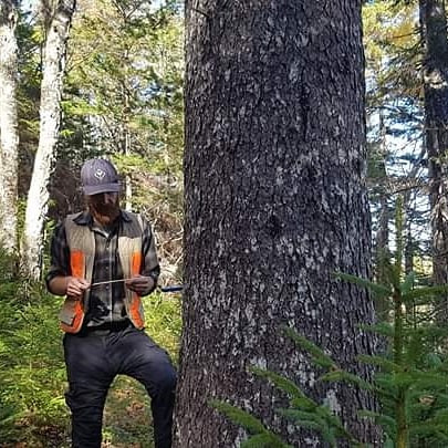 Coring a 300 year old red spruce