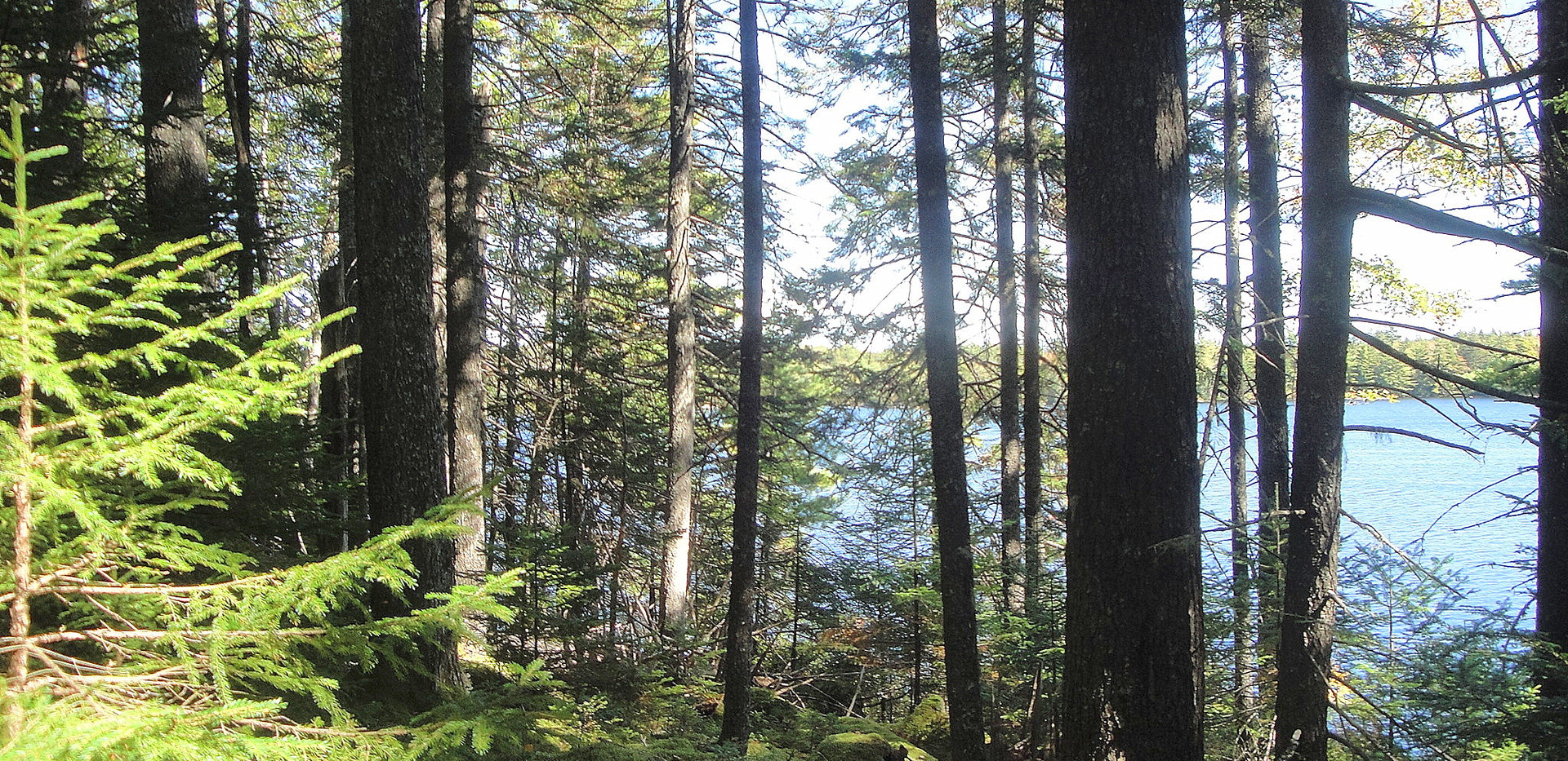 Old growth red spruce on the shore