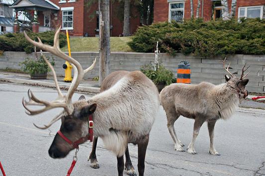 Reindeer-but-wheres-Santa.jpg