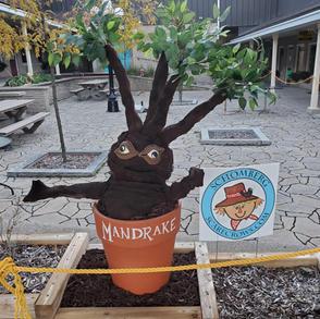 11. The Mandrake