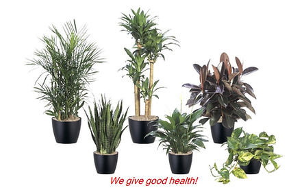 Office plant rentals, office plant purchases