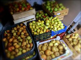 Les pommes avant transformation en jus pasteurisé.