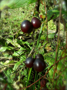 Petits fruits cramberries