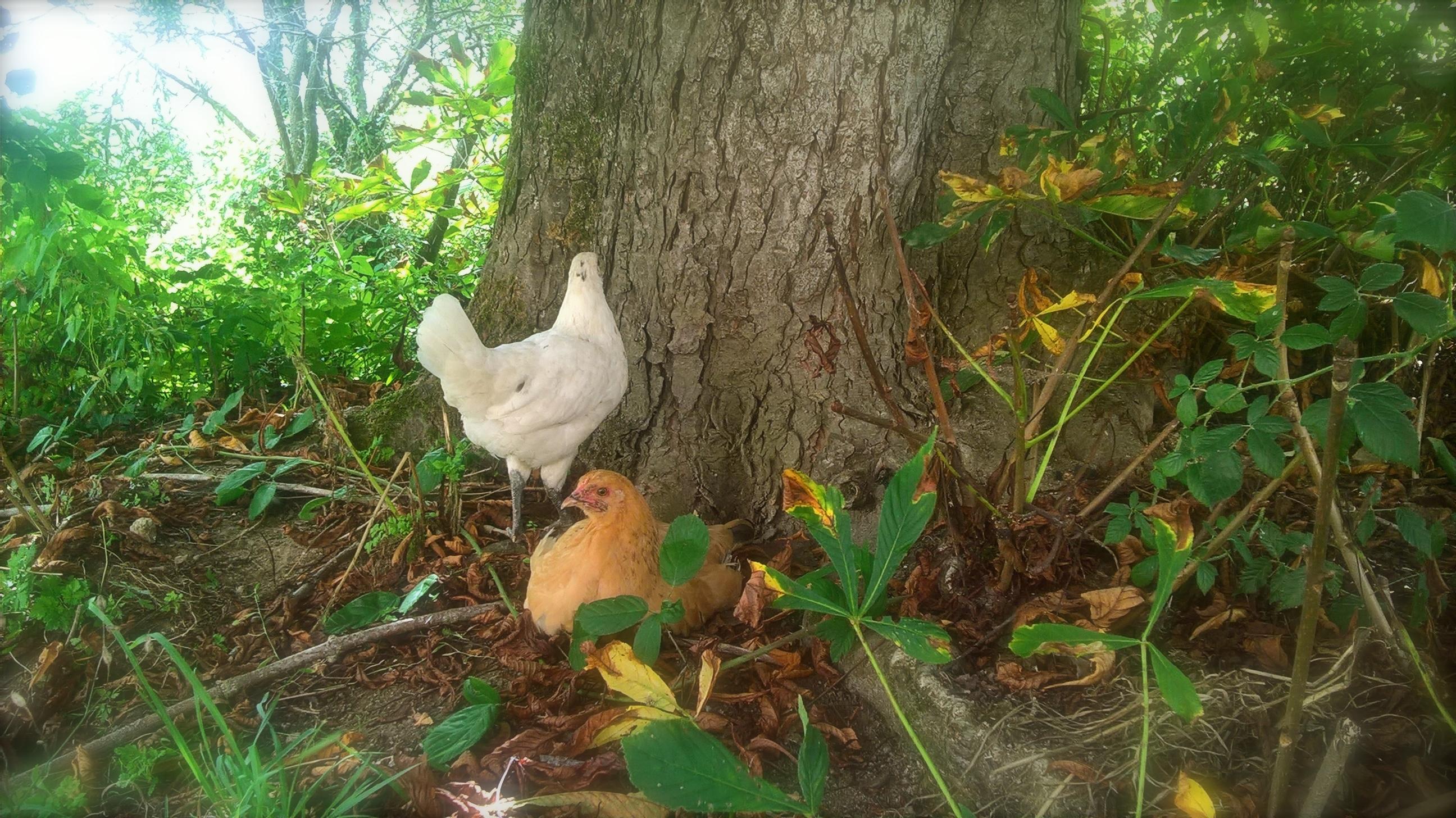 les nouvelles poulettes