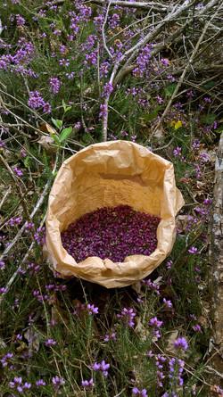 récolte de bruyère