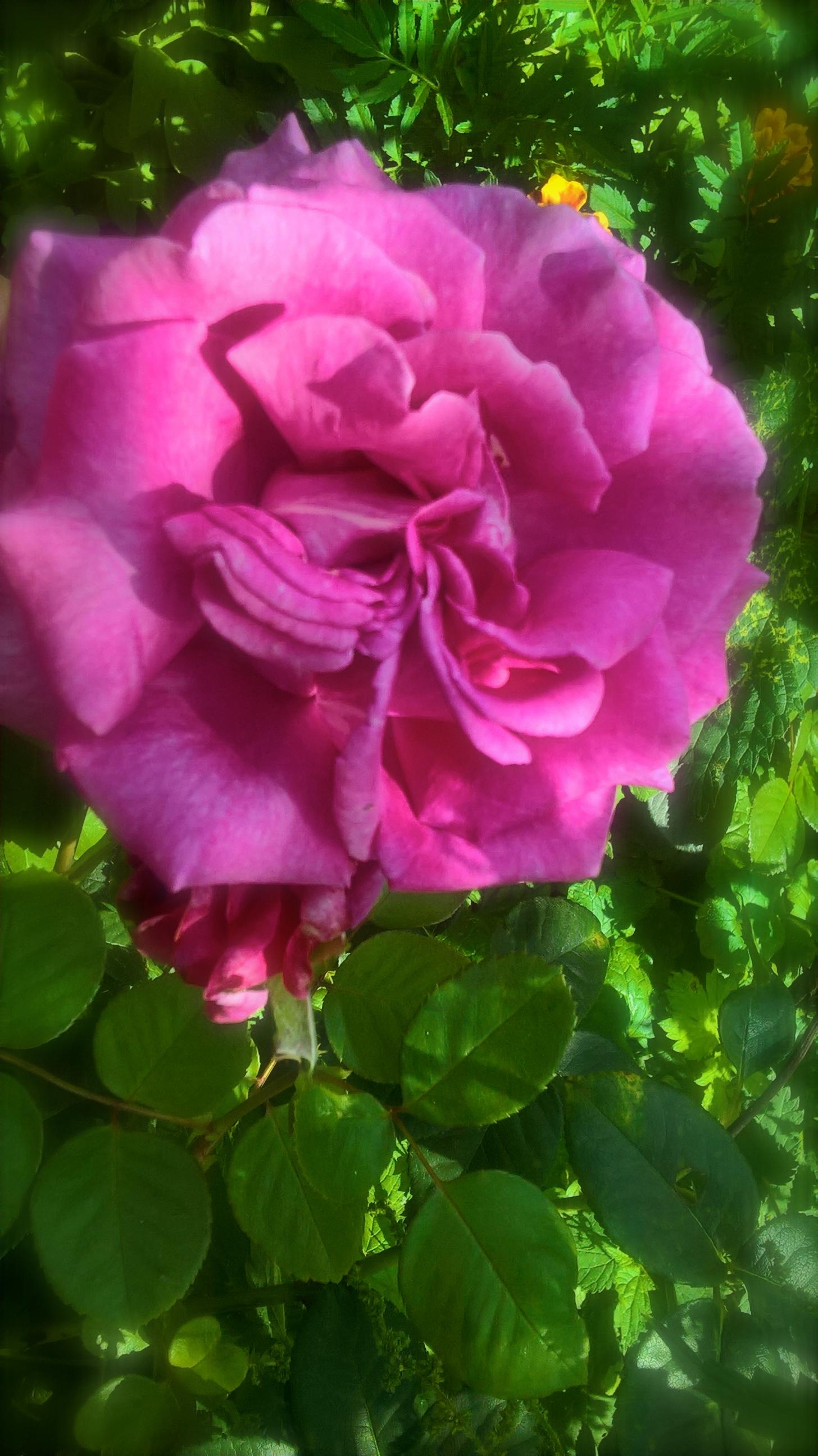 rose aux milles senteurs