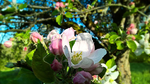 Fleur de pommier