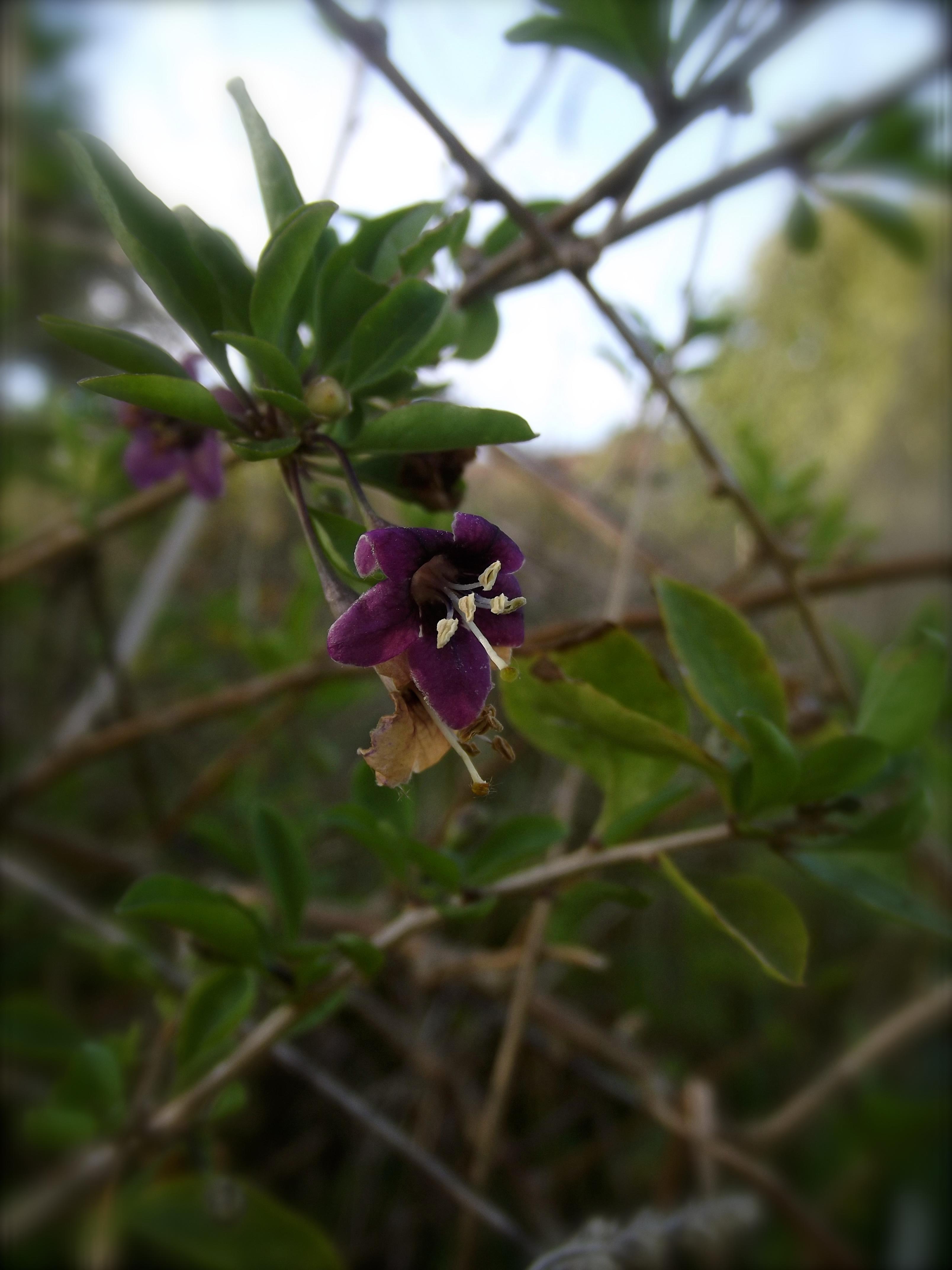 fleur de godji