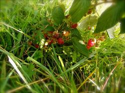 framboises de la forêt comestible
