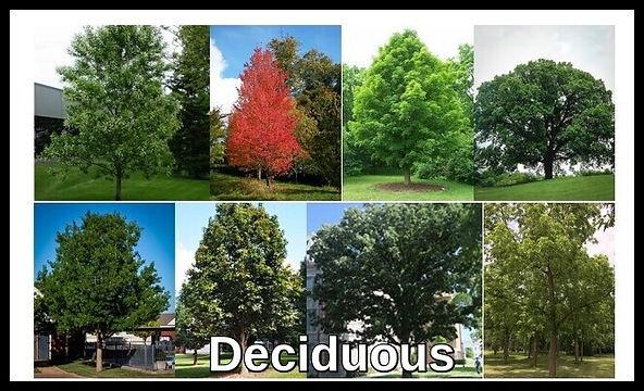 Deciduous.jpg