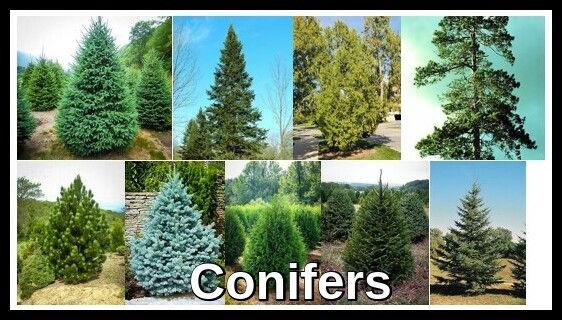 Conifers1.jpg