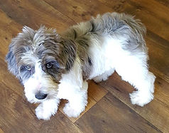 Ellie, she is an F3 Labradoodle.