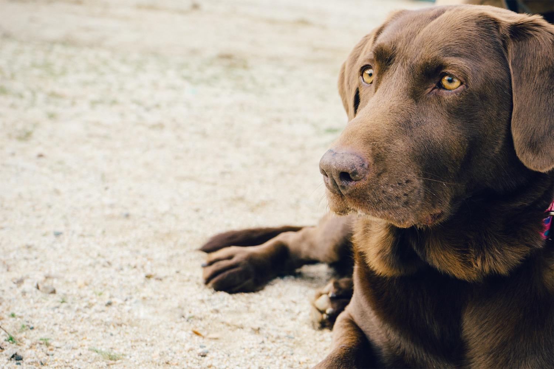 animal-dog-pet-brown_edited