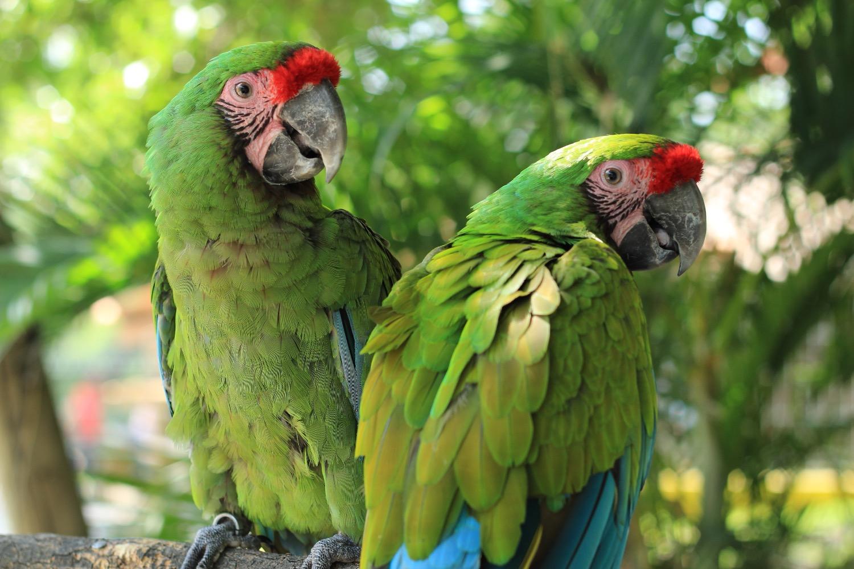 parrot-2659023_edited