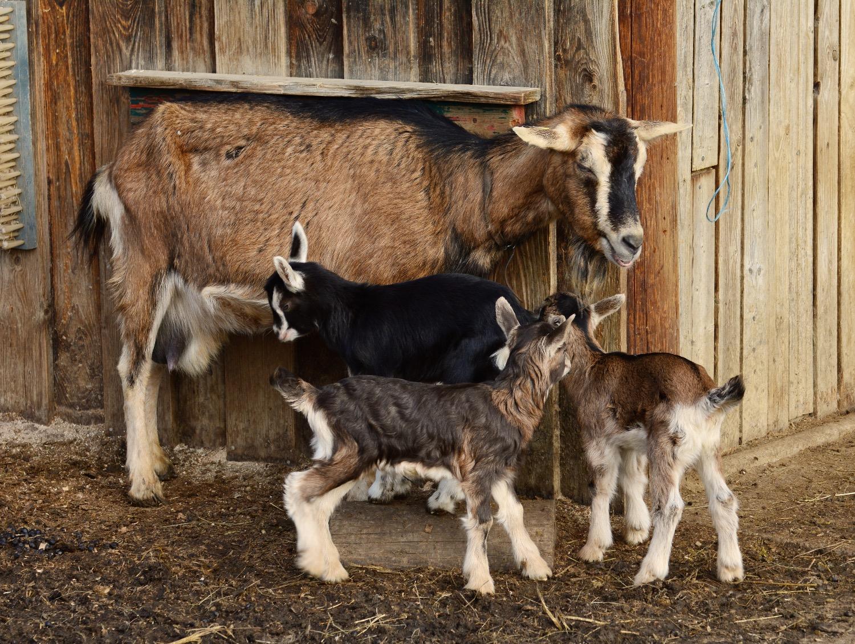 goats-2052735_edited
