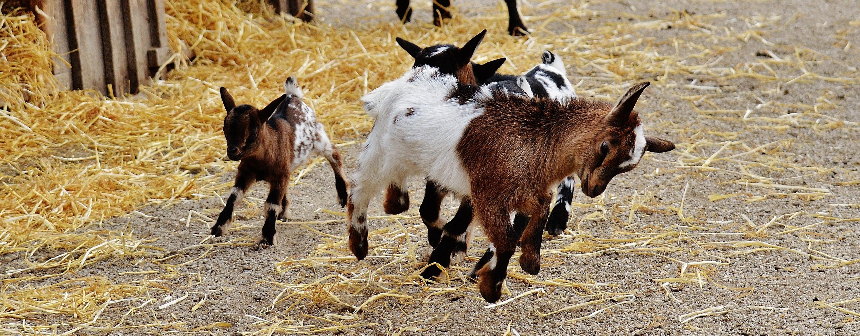 goats-1311748
