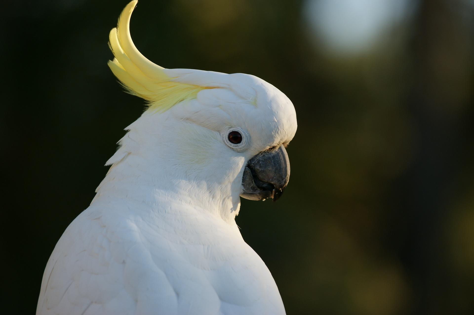 cockatoo-583921_1920
