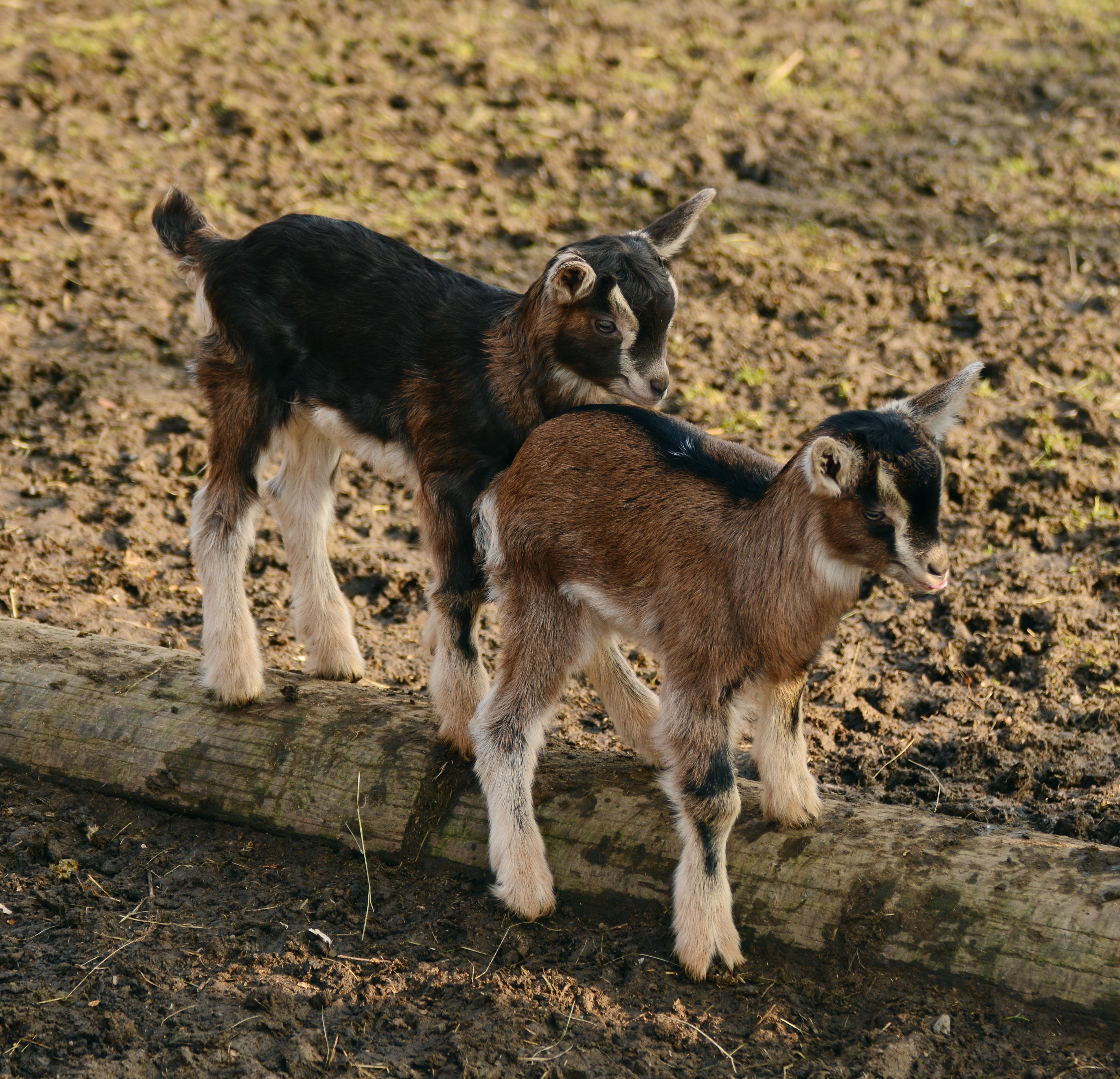 goats-2052736