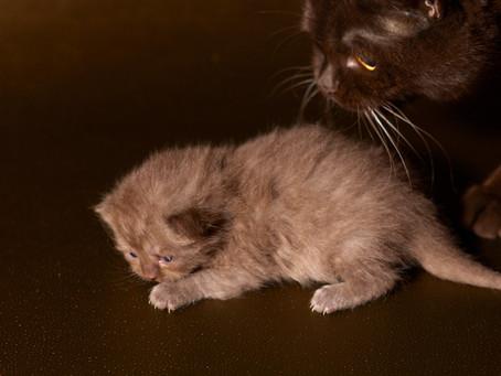 Les chatons de Greta à 2 semaines