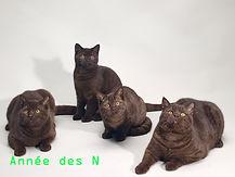 année des N chatons scottish fold scottish straight chocolat LOOF